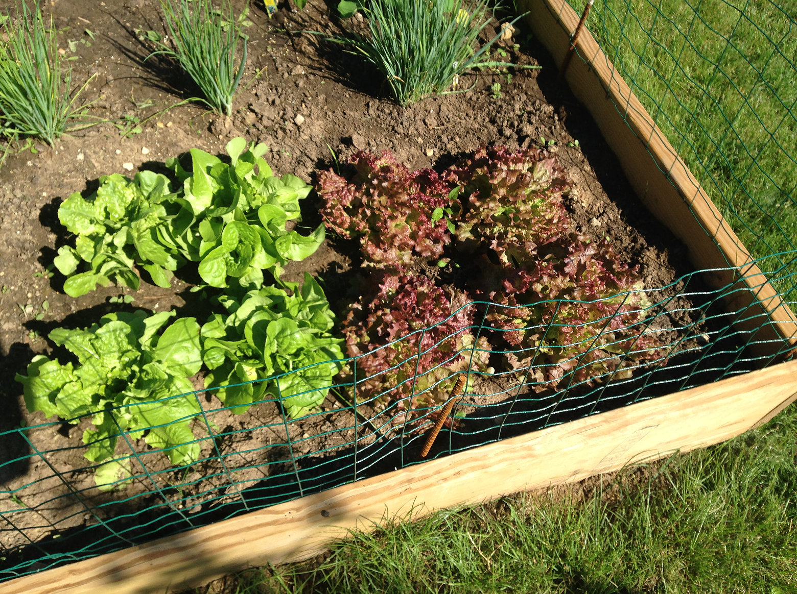 vegetable garden lettuce